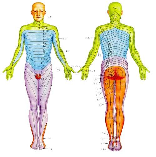 dermatome cahrt